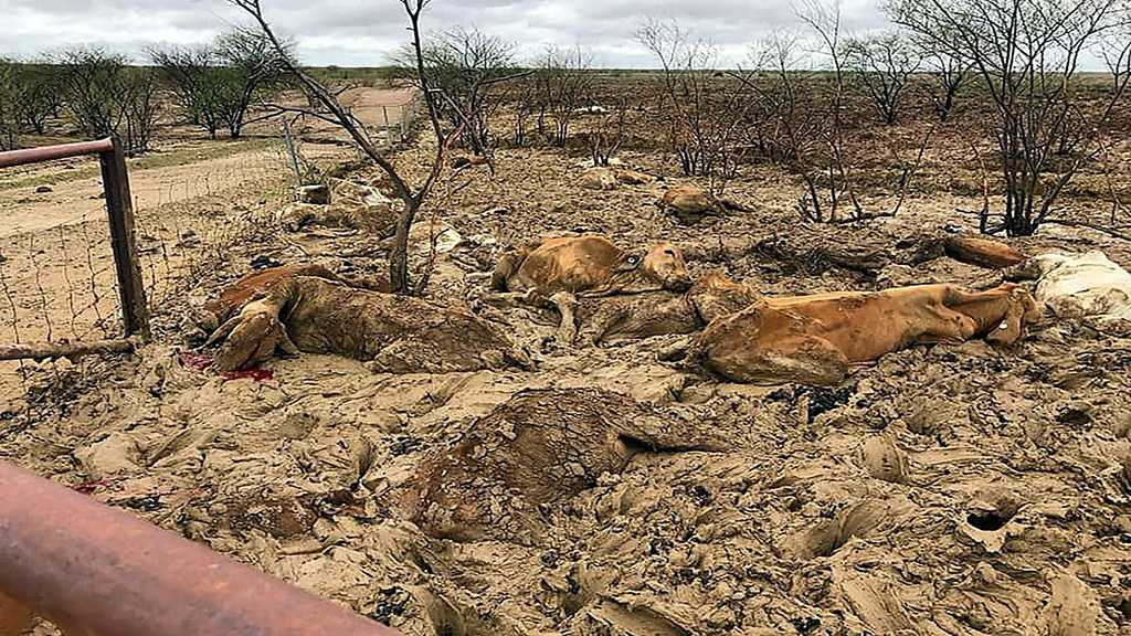 Australia: Floods Kill Hundreds of Thousands of Cattle